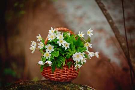 windflower: Beautiful bouquet of Anemone nemorosa common names: wood anemone, windflower, thimbleweed, and smell fox in the basket in the forest