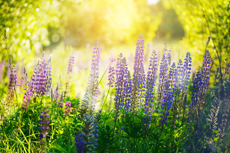 herbaceous: Violet lupines flowers over green background at summer day , outdoor floral nature Stock Photo