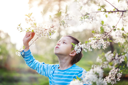 Cute little boy enjoy blooming tree with white flowers in spring sunny day.
