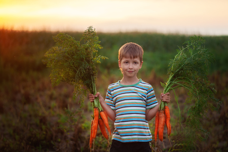 Little kid boy holding a fresh harvested ripe carrots in his hands in the garden on sunset summer. 版權商用圖片