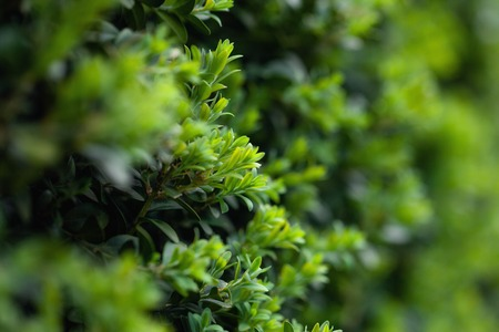 Beautiful natural background, Green leaves wall hedge as background of fresh boxwood Buxus Sempervirens Rotundifolia