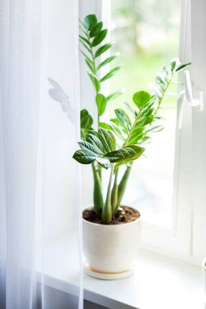 Zamioculcas home plant on the windowsill. Home plant with green leaves on a window. Concept of home gardening.