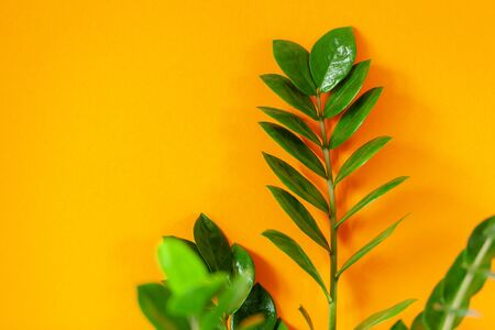 Zamioculcas home plant on orange background. Home plant with green leaves. Concept of home gardening.