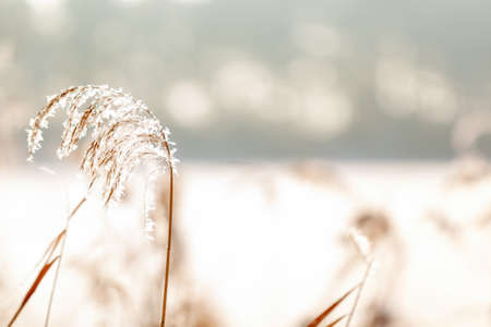 Close-up of meadow grass under the snow. Nature winter background. Winter landscape.Winter scene.