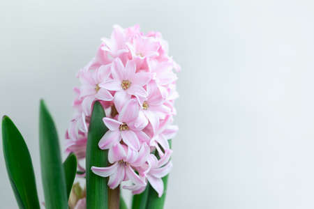Hyacinth pink flowers on the netural background. Spring greeting card.
