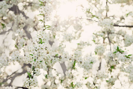 Beautiful spring branches of blossoming cherry on nature abstract background. Selective focus.Dreamlike romantic picture source, copy space.