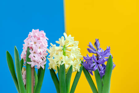 Hyacinth blue, yellow, pink flowers on colorful background. Awakening of spring. Beautiful blooming flowers.