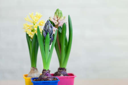 Hyacinth flowers on netural background. Awakening of spring. Beautiful blooming flowers.
