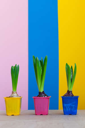 Hyacinth flowers up after winter on colorful background. Before flowering. Awakening of spring. Reklamní fotografie
