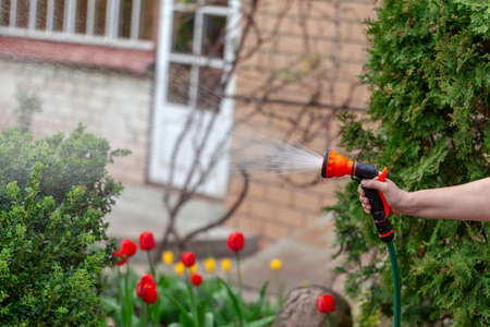 Gardener watering flowers with hose in the garden. Sparkling water spraying out of sprinkler on the red tulips. Summer gardening.