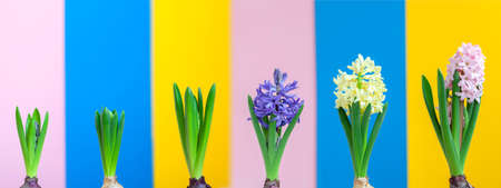 Banner. Growing Hyacinths with flower bulb in time laps. Hyacinth blue, yellow, pink flowers on colorful background. Awakening of spring. Beautiful blooming flowers. Reklamní fotografie