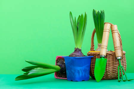 Gardening tools and pots of hyacinth flowers on green background. Spring garden concept.