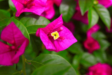 Bougainvillea pink color photo