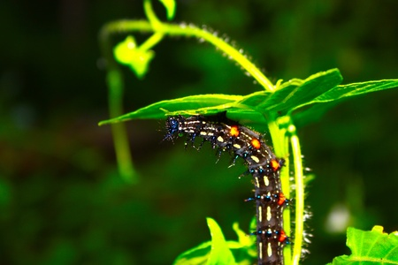 Hairy caterpillar photo