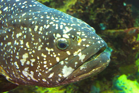 Aquarium fish (Grouper) photo