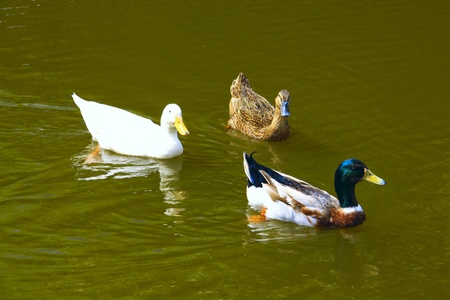 Three ducks swimming at Tenom Agriculture Park