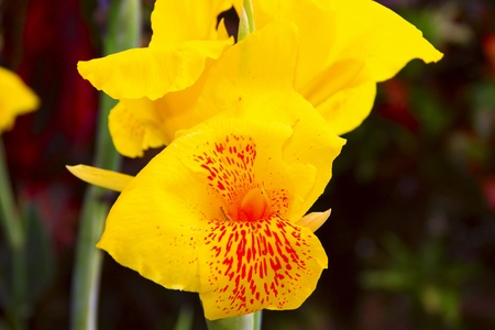 Yellow flower with red spot photo