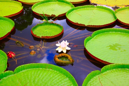Big Lotus leaf with white flower grow in the pond at Tenom Agriculture Park photo