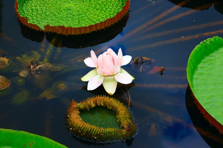 Big Lotus leaf with white flower grow in the pond at Tenom Agriculture Park