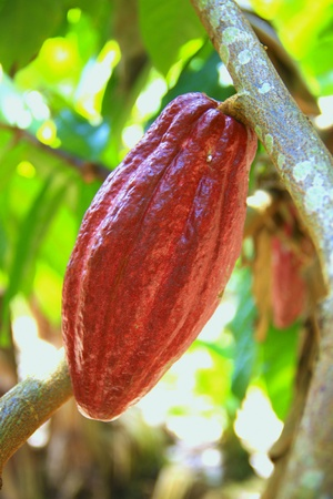 scenary: Red color of cacao fruit planted at Ranau