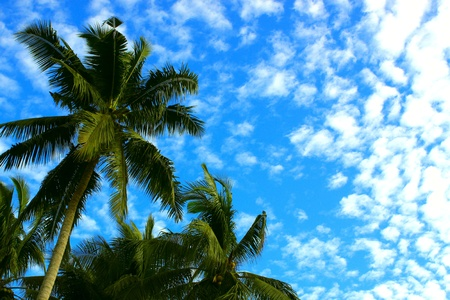 Coconut trees with blue background grow at village area