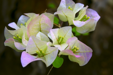 Close up white bougainvillea flower
