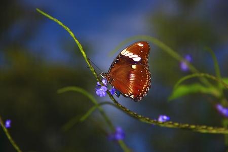 entomological: Borneo butterfly species