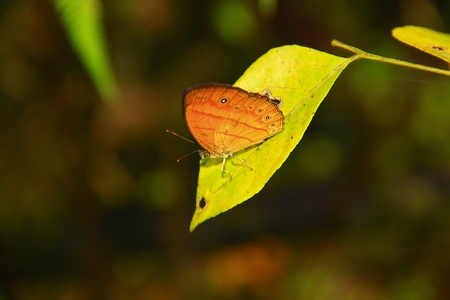 Borneo butterfly species photo
