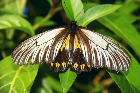 Borneo butterfly species
