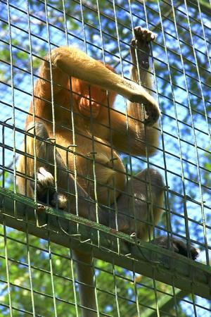 proboscis: Proboscis monkey in the cage at Lokawi Zoo, Sabah, Malaysia Stock Photo
