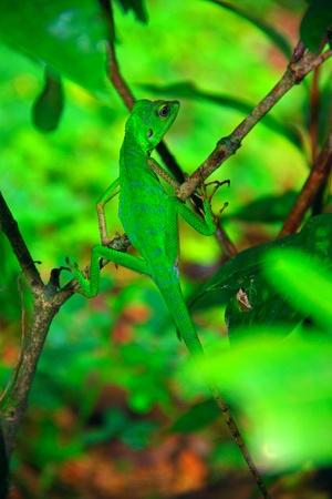 Green lizard at Kawang Reserve Forest, Kinarut, Sabah, Malaysia photo