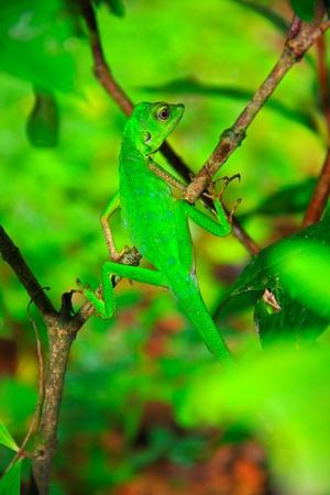 Green lizard at Kawang Reserve Forest, Kinarut, Sabah, Malaysia Stock Photo - 9513654
