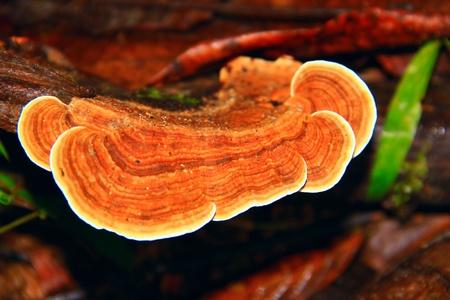 Wood fungus at Kawang Reserve Forest, Kinarut, Sabah, Malaysia Stock Photo
