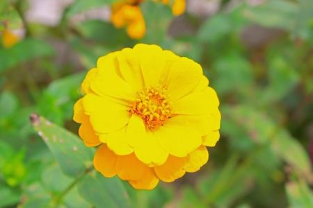 Tropical flower grow in Sabah Highland photo