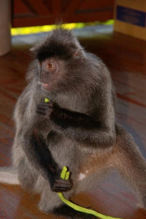 sandakan: Portrait of cute monkey eating long beans at Labok Bay, Sandakan, Sabah, Malaysia