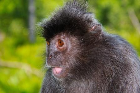 sandakan: Portrait of cute monkey at Labok Bay, Sandakan, Sabah, Malaysia