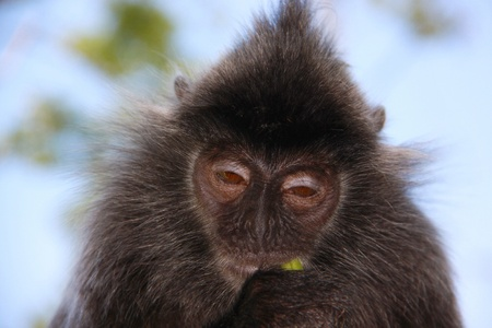 sandakan: Portrait of silver leaf monkey at Labok Bay, Sandakan, Sabah, Malaysia Stock Photo