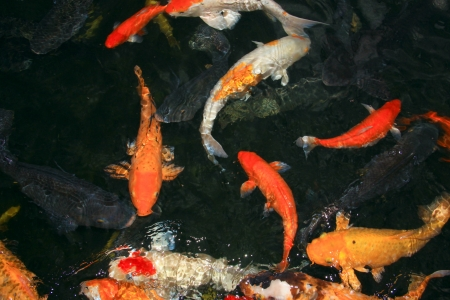 Koi fish at Crocodile Farm Sandakan, Sabah Stock Photo