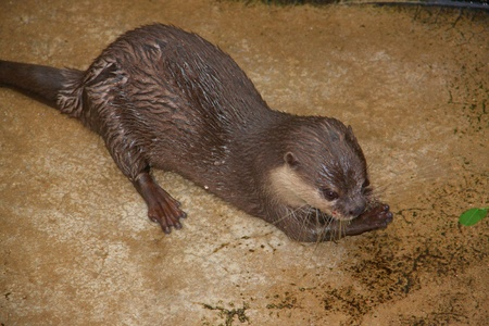 sandakan: Otter at Sandakan Crocodile Farm