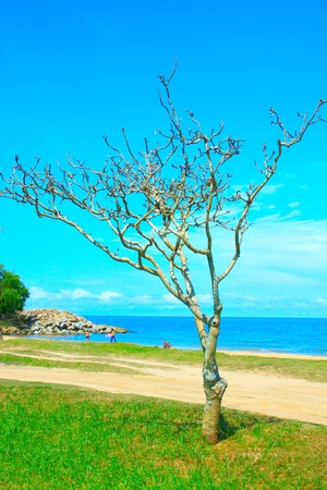 Dry tree at the beach with blue sky background