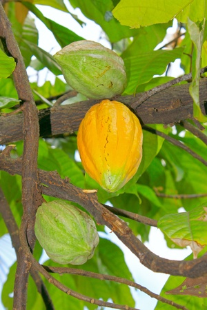 Yellow and green fruit of Theobroma cacao Stock Photo