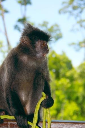 sandakan: Portrait of silver leaf monkey at Labok Bay, Sandakan, Sabah, Malaysia Stock Photo