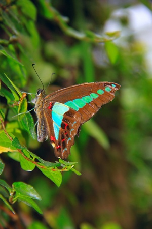 latent: Beautiful and colorful butterfly species at Penang Butterfly Park, Pulau Pinang, Malaysia