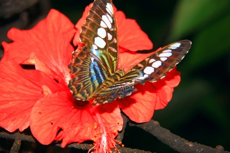 Beautiful and colorful butterfly species at Penang Butterfly Park, Pulau Pinang, Malaysia photo