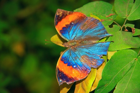 pulau: Beautiful and colorful butterfly species at Penang Butterfly Park, Pulau Pinang, Malaysia