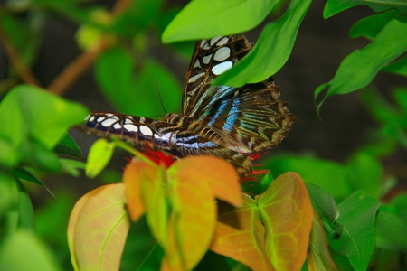Beautiful and colorful butterfly species at Penang Butterfly Park, Pulau Pinang, Malaysia Stock Photo - 10286786