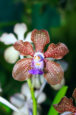 Orchid with brown color flower at Butterfly Park, Kuala Lumpur, Malaysia Stock Photo