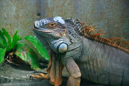 Wild giant iguana at Penang Butterfly Park, Malaysia Stock Photo