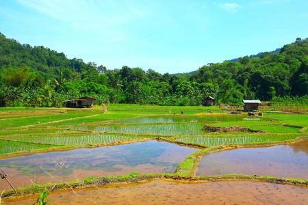 tuaran: Paddy field view at Kiulu, Tuaran, Sabah, Malaysia