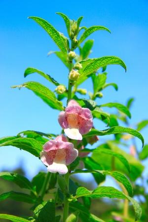 tuaran: Tropical flower grow near Kiulu River, Tuaran, Sabah, Malaysia